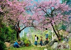 hoa đào hà giang
